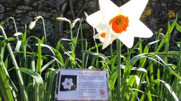 Floral Guernsey Daffodil